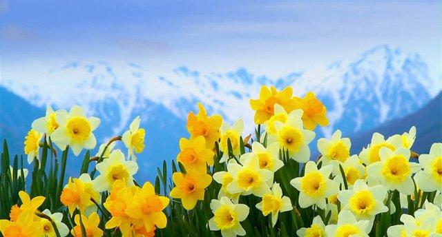 «Narcišu Festivāls Austrijas Alpos!» Olomouca, Vīne, Bad Aussee, Zalcburga, Česky Krumlov, Prāga