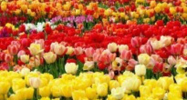 Tulpju festivāls Lietuvā (Burbišķi-Šauļi)